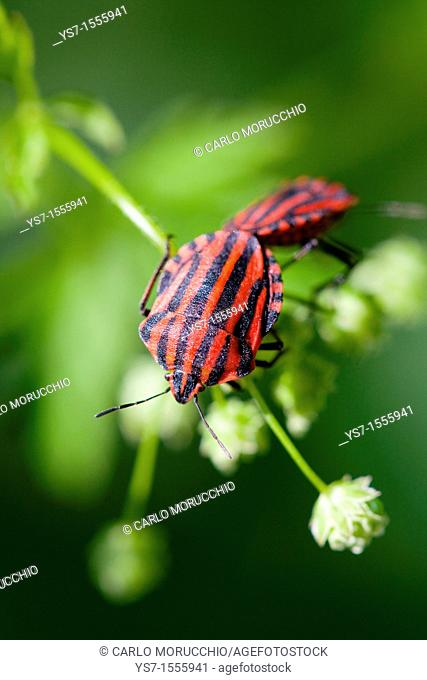 Graphosoma italicum on a flower on Padua hills, Italy, Europe