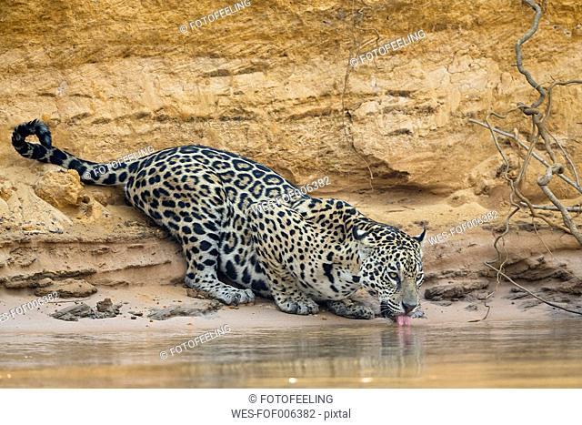South America, Brasilia, Mato Grosso do Sul, Pantanal, Cuiaba River, Jaguar, Panthera onca, drinking