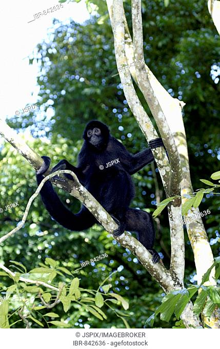 Red-faced Spider Monkey (Ateles paniscus), adult in a tree, native to South America