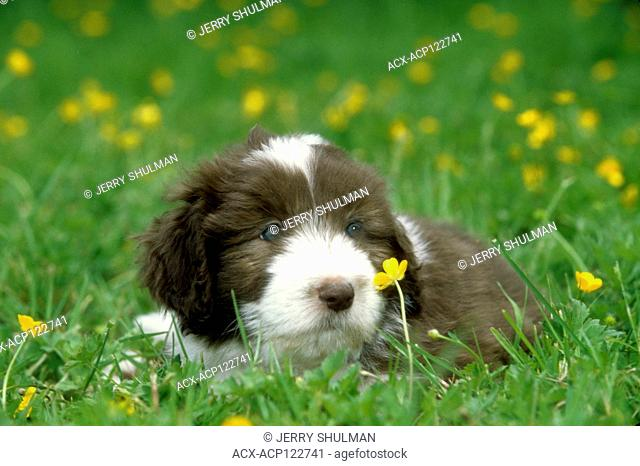 Bearded Collie Puppy lying in field, staring at flower