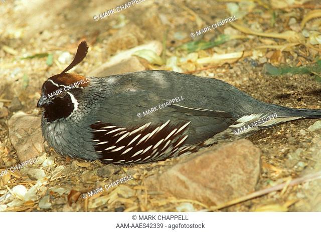 Gambel's Quail sleeping at mid-day, Arizona (Callipepla gambelii)