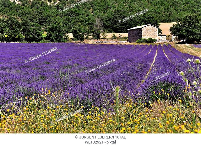 Farm of lavender, Lavandula angustifolia, Vaucluse, Provence, France