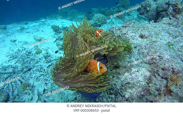 Maldive anemonefish - Amphiprion nigripes float in the current above the anemone, Indian Ocean, Maldives