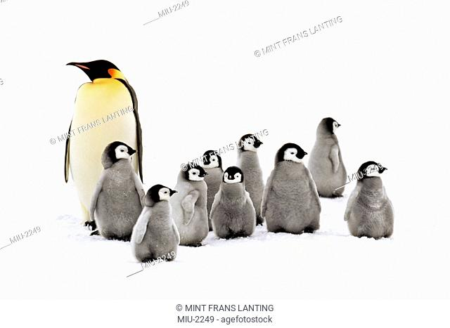 Emperor penguin adult and chicks, Aptenodytes forsteri, Weddell Sea, Antarctica