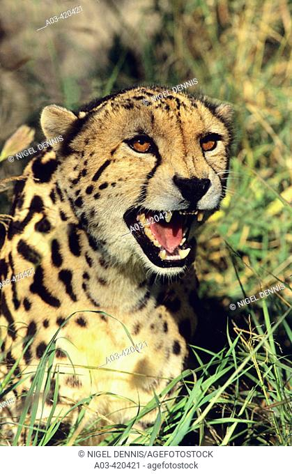 King Cheetah, Acinonyx jubatus, Rare melanistic form, Kapama, South Africa