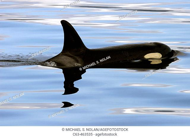 Young Orca (Orcinus orca - also known as killer whale) surfacing in Southeast Alaska, USA