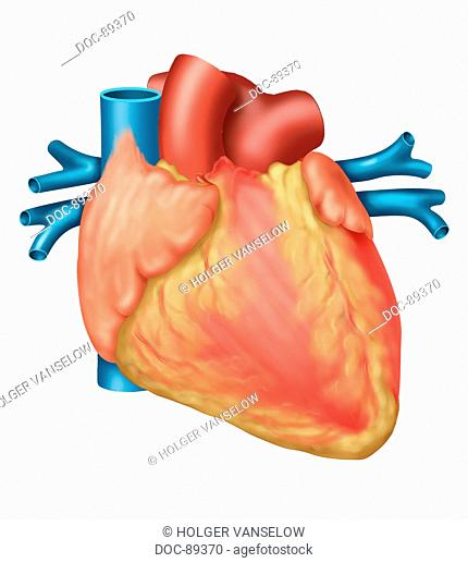 Heart closed , with fat