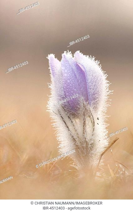 Pasqueflower (Pulsatilla vulgaris), with dew in meadow, close-up, Hesse, Germany