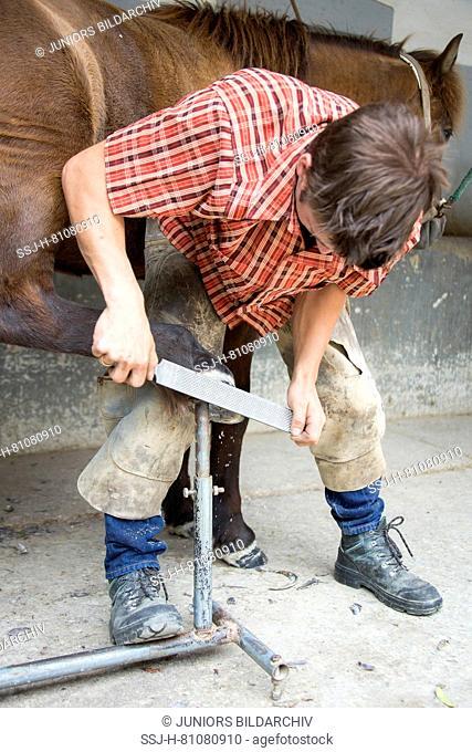Farrier rasping a hoof. Austria