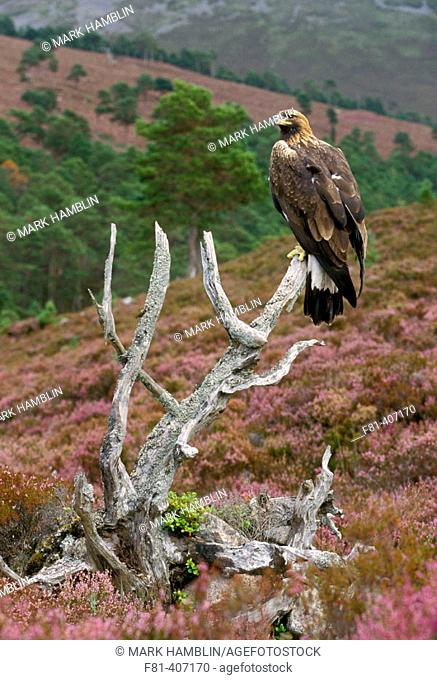 Golden Eagle (Aquila chrysaetos) adult perched on old pine on heather moor. Scotland. UK