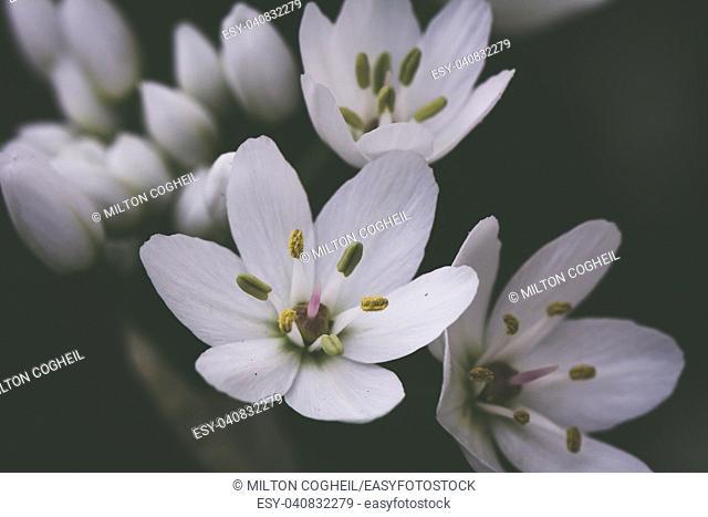 Small white delicate Allium flowers