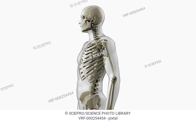 Animated model of the human skeletal system