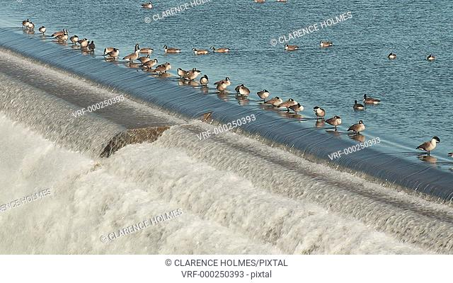 Canada Geese stand and swim in the Croton Reservoir as water flows over the spillway of the New Croton Dam on a warm winter day in Cortlandt, New York