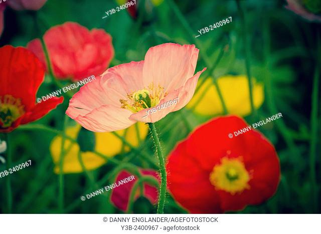Closeup of Vintage style Poppies