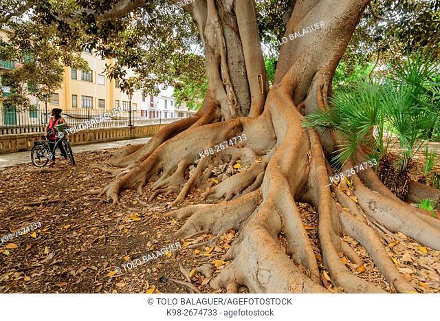Ficus de La Misericòrdia, -Ficus macrophylla-, arbol singular, jardín botánico de la Casa de la Misericòrdia , Palma, Majorca, Balearic Islands, Spain