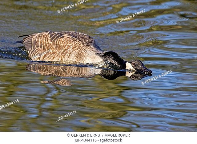 Canada Goose (Branta canadensis), threatening gesture, swimming in the water, Hamburg, Germany