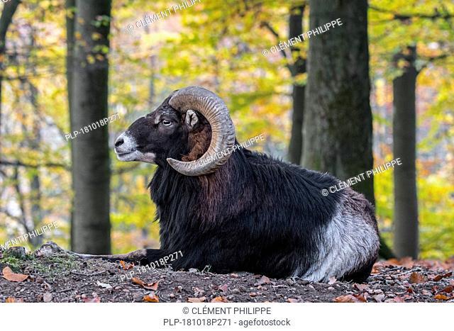 European mouflon (Ovis gmelini musimon / Ovis ammon / Ovis orientalis musimon) ram with big horns resting in autumn forest in the Ardennes