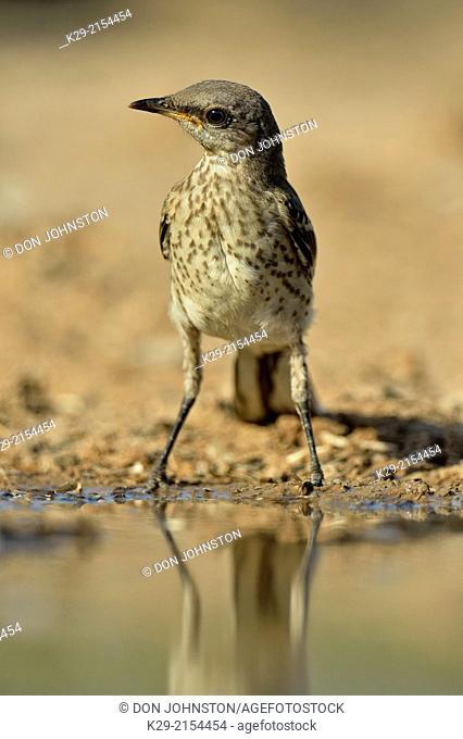 Northern Mockingbird (Mimus polyglottos) Juvenile, Rio Grande City, Texas, USA