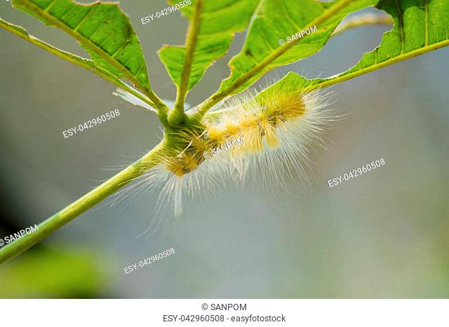 Caterpillar feeding on a leaf in garden and make damage