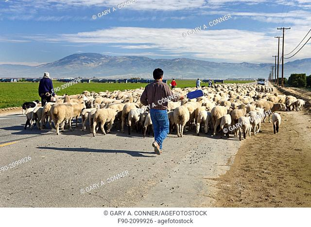 Shephards w dog driving flock of sheep-Kern Co. CA H