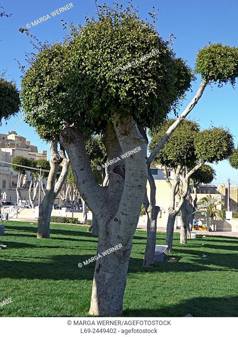 Shape cutted weeping fig trees, Mgarr, Island Gozo, Malta Archipel
