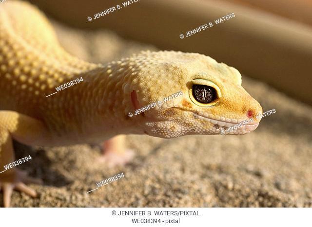 Leopard Gecko, female (Eublepharis macularius)