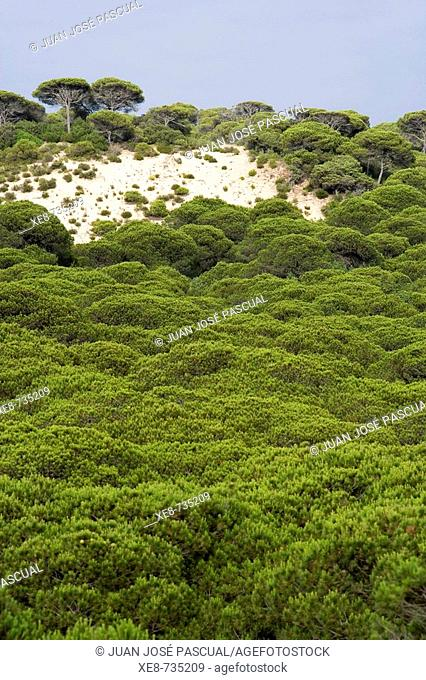 Pine forest, Doñana National Park. Huelva province, Andalucia, Spain