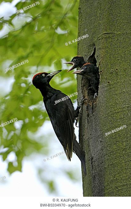black woodpecker (Dryocopus martius), breeding cave in a spruce, male feeding fledgelings, Germany, North Rhine-Westphalia