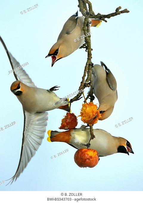 Bohemian waxwing (Bombycilla garrulus), four jealously about food adult birds on a twig, Germany, Baden-Wuerttemberg