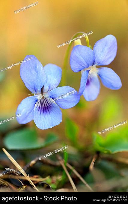Close-up of wild blue flower
