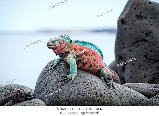 Christmas Iguana, Galapagos Islands