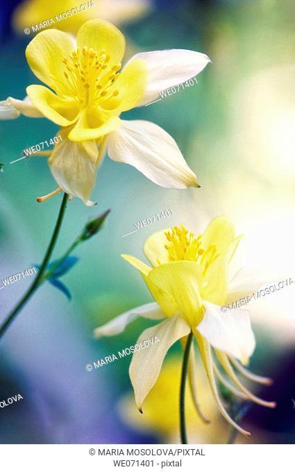 Yellow Columbine Flowers. Aquilegia formosa. May 2007, Maryland, USA
