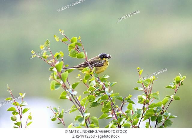 A yellow wagtail sitting in a birch tree with insect in his beak at kungsleden in mountain arrea in swedish lapland