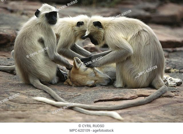 Hanuman or Grey or Common Langur Semnopithecus entellus, group grooming a dog, Rajasthan, India