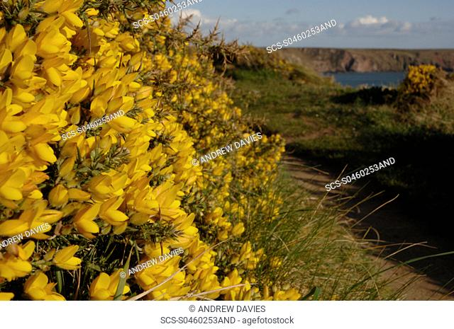 Gorse Ulex europaeus growing along the footpath to Marloes Sands, Marloes, Pembrokeshire, Wales, UK, Europe