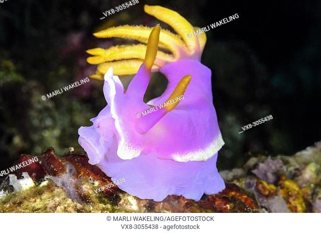 sea slug or nudibranch, Hypselodoris apolegma, Anilao, Batangas, Philippines, Pacific