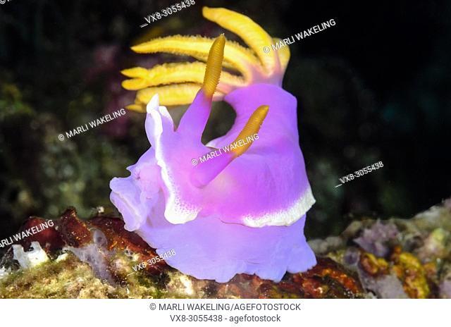 sea slug or nudibranch, Hypselodoris apolegma, Anilao, Batangas, Philippines, Pacific