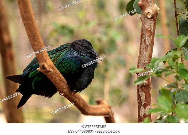 Nicobar pigeon called Caloenas nicobarica is found in New Guinea, Nicobar and Luzon