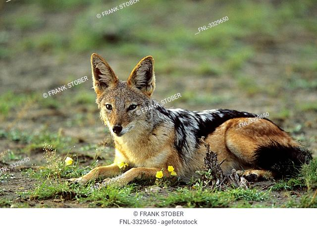 Black-backed jackal Canis mesomelas lying, Etosha National Park, Namibia