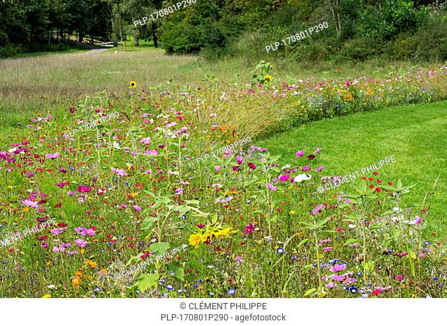 Mixture of colourful wildflowers in wildflower zone bordering grassland, planted to attract and help bees, butterflies and other pollinators