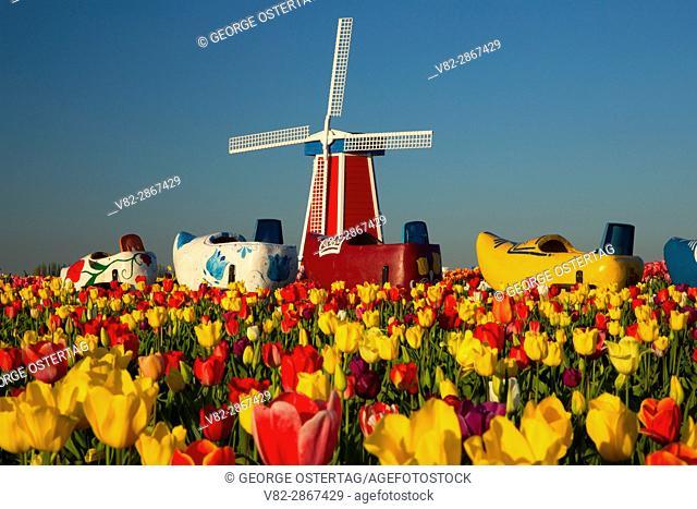 Tulip field with windmill, Wooden Shoe Bulb Co. , Clackamas County, Oregon