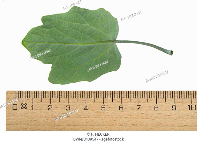 white poplar, silver-leaved poplar, abele (Populus alba), poplar leaf, underside, cutout, with ruler