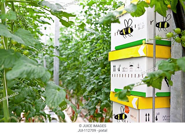 Bee boxes stacked among tomato plants in greenhouse