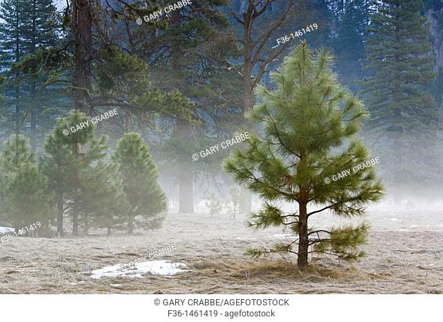 Small young pine tree in meadow, Yosemite Valley, Yosemite National Park, California