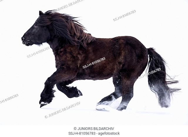 Bardigiano, Bardi Horse. Black gelding galloping in snow. Germany