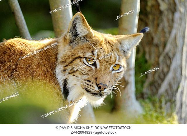 Portrait of a Eurasian lynx (Lynx lynx) in the forest
