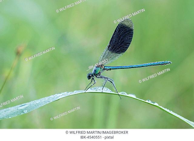 Banded demoiselle (Calopteryx splendens) on reed stem, Hesse, Germany