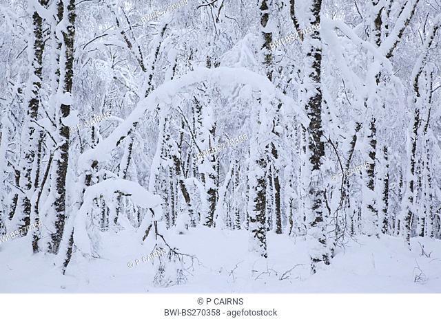 snow-covered native forest, United Kingdom, Scotland, Cairngorms National Park