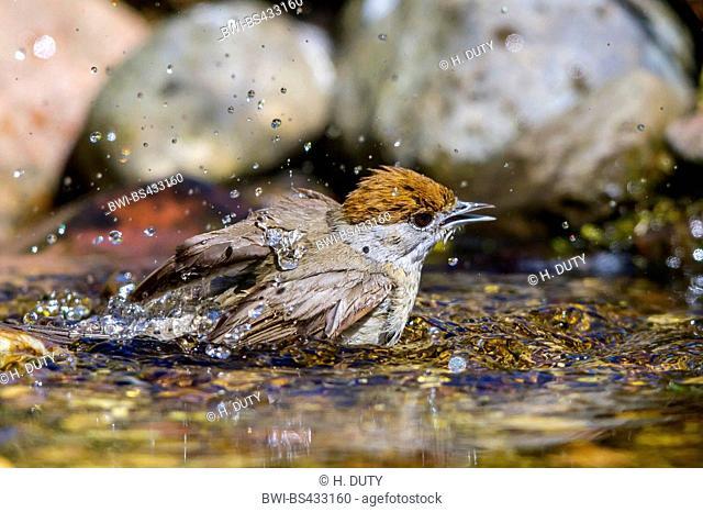 blackcap (Sylvia atricapilla), female bathes in a brook, Germany, Mecklenburg-Western Pomerania
