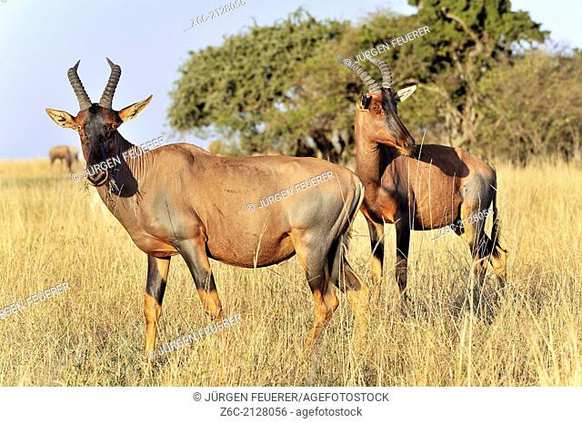 Topi Antelopes, Damaliscus lunatus, in Masai Mara, Kenya